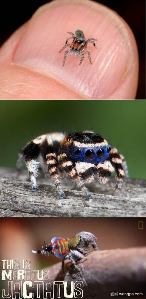 有多少人怕蜘蛛 这是孔雀蜘蛛