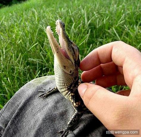 鳄鱼宝宝喜欢被抚摸