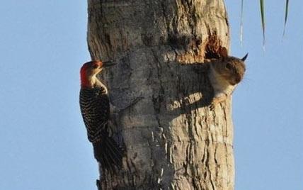 大清早的谁在敲门!_松鼠_啄木鸟 - 嗡啪萌宠动物