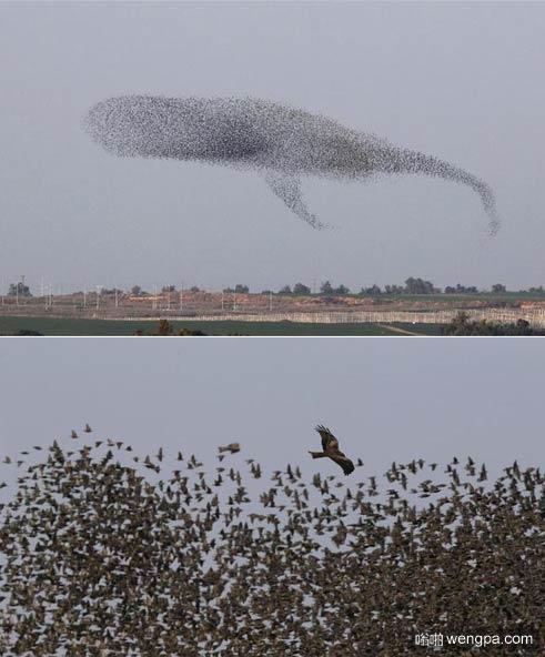 保持队形 以色列椋鸟迁徙遮天蔽日 队形多变似鲸鱼