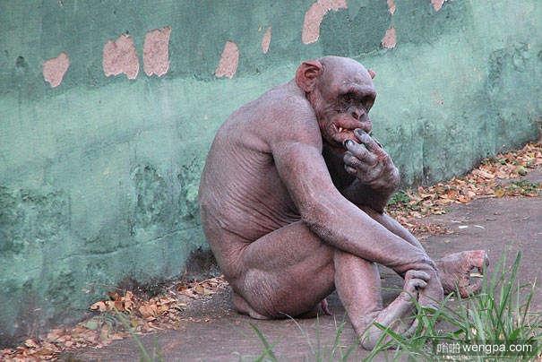 动物们的毛掉光后变得不再那么可爱(3)黑猩猩