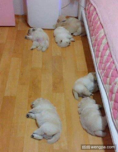 这不是命案现场,这些狗狗只是在午睡