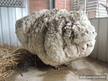 """克里斯创造了""""从羊身下剪下最多羊毛""""世界纪录后,它被发现游荡在野外"""