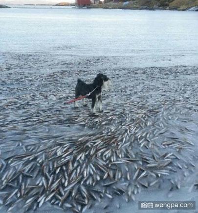 挪威,鱼群被冻结在水面,Lovund北部岛附近