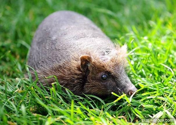 动物们的毛掉光后变得不再那么可爱(9)