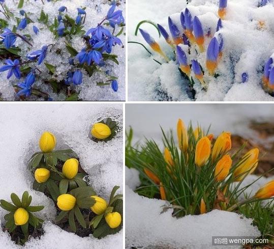 雪天的某处,春天已经悄悄地呼吸_漂亮_花朵