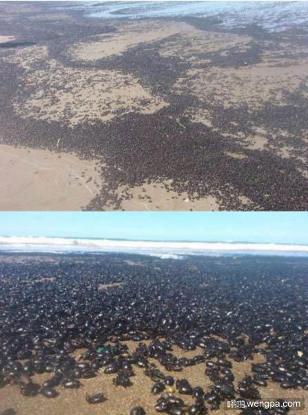 成千上万的甲虫入侵阿根廷海滩