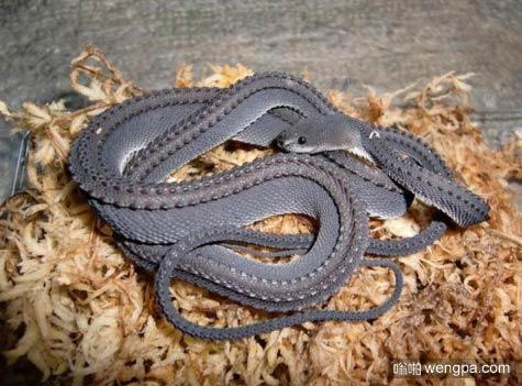 龙蛇 世界上最难以捉摸和壮观的蛇之一 难得一见