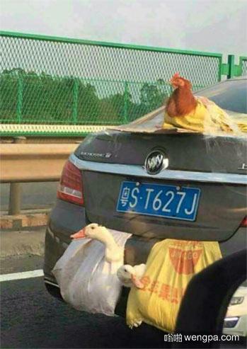 中国特色 鸡鸭绑在车尾