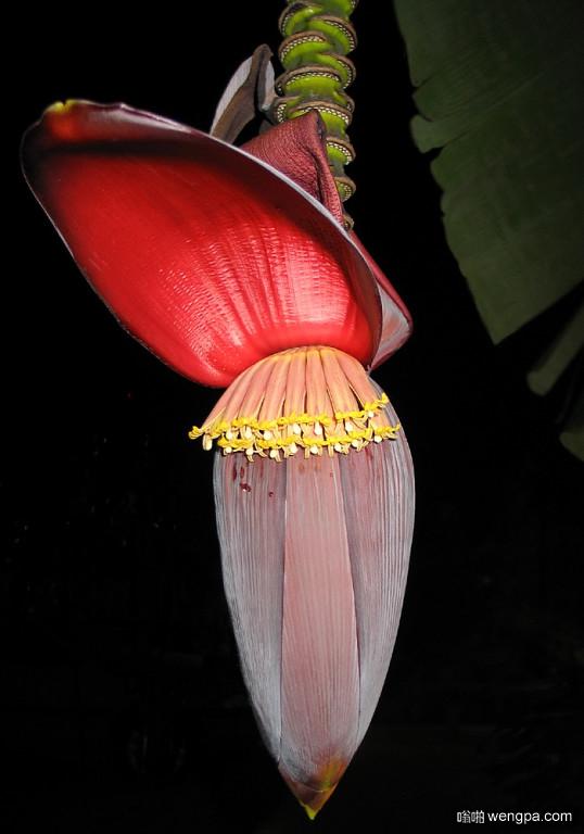 香蕉吃了一百次 但看到香蕉开的花 还是第一次