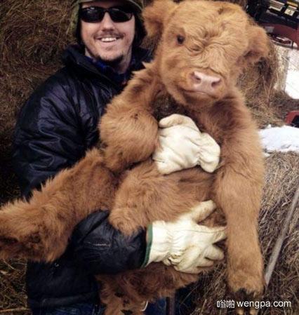 在欧洲,有一个毛茸茸的牛来开始新的一天