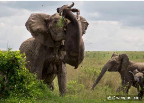 知道为啥狮子不敢动成年大象了吧,一吨重的水牛被大象用牙齿挑起