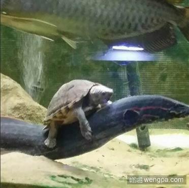 这乌龟有了新的代步工具