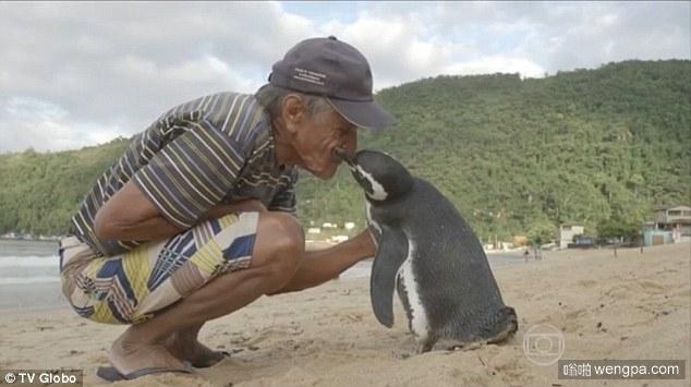 企鹅和渔民的故事:受困企鹅在巴西沿海被渔民搭救  每年游8000公里返回看望恩人