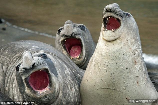 谁是歌手:海象PK海豹炫耀自己的演唱技巧