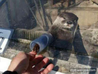 在日本的一个水族馆,他们让你可以和水獭握手 - 嗡啪萌宠图片