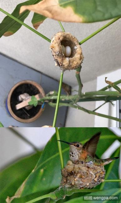 度假回来,一只蜂鸟在走廊的盆景树上建了个窝,还下了两个蛋