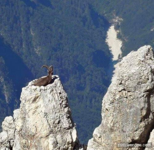 山羊征服一座山 它是如何上去的? - 嗡啪搞笑动物