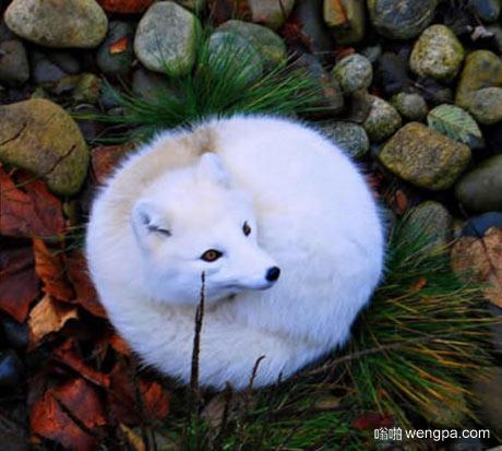 白色狐狸起来那么可爱和满意 - 嗡啪萌宠图片