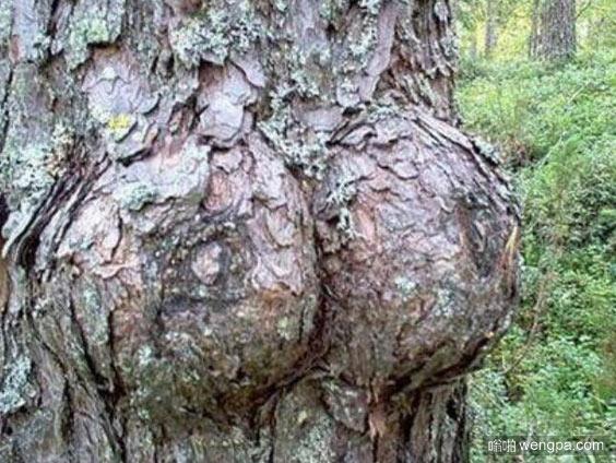 这树有两个丰满的乳房