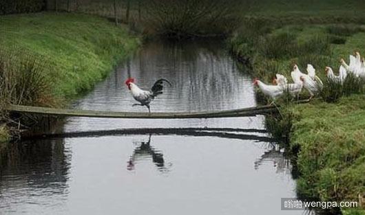 一只公鸡引领一群母鸡过河
