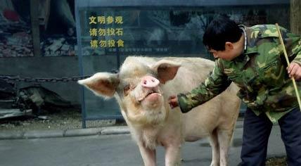 最长寿的猪 汶川猪坚强9岁了 死后制成标本