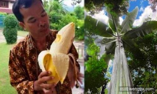 南太平洋岛国发现高25米巨型芭蕉树 一个果实够四人同食
