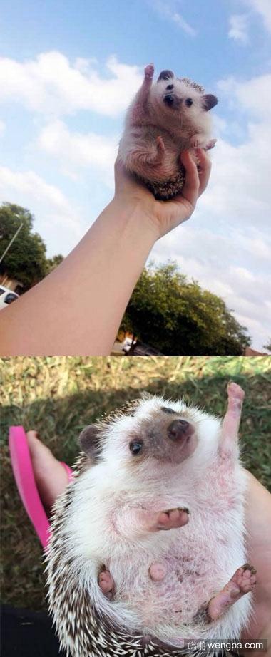 哦也!胜利!可爱小刺猬_萌宠动物 - 嗡啪萌宠图片