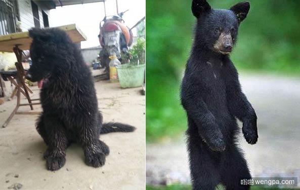 """小黑熊犬幼崽养半年发现是""""小黑熊"""" 黑熊犬价格 图片"""