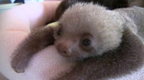 毛茸可爱的树懒宝宝 - 嗡啪萌宠图片