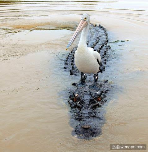 鸟把鳄鱼当船了 - 嗡啪搞笑动物
