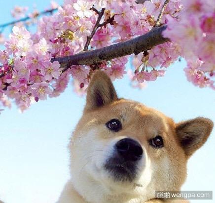狗狗赏樱花 四月樱花和狗狗更配哦