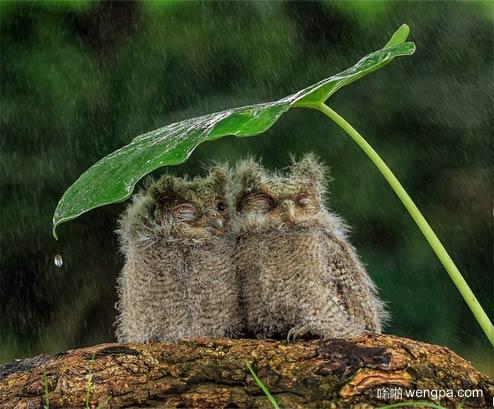 虽然只有一片叶子遮雨 但只要两个在一起就足够了