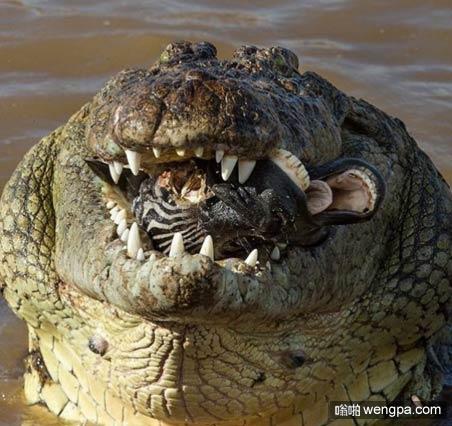 鳄鱼吃掉一只斑马,口里依稀可以看见斑马肉 - 嗡啪奇闻