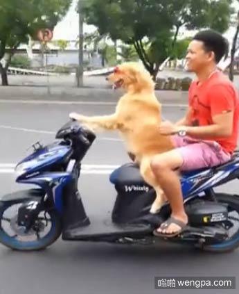 【视频】狗狗骑摩托带主人兜风 狗狗骑摩托视频 - 嗡啪搞笑视频