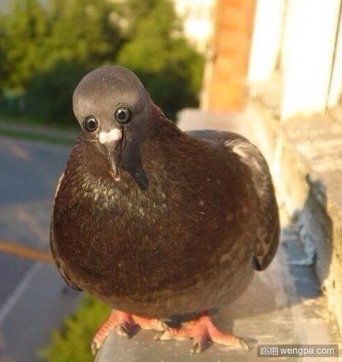 【鸽子 搞笑动物】 如果鸽子的眼睛长在前面而不是侧面 - 嗡啪萌宠图片