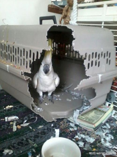 是不是该换个铁笼子了_鹦鹉_搞笑图片 - 嗡啪搞笑动物