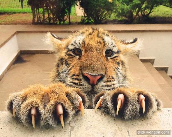 老虎幼崽亮出它的武器