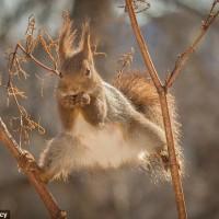 松鼠劈叉证明它们是天生的杂技演员 都是为了生活
