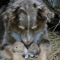 狗狗看护小兔子