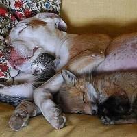 小狐狸和小猫依偎在一只狗狗的怀里