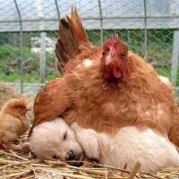 这些动物将别人的孩子当成自己的孩子抚养
