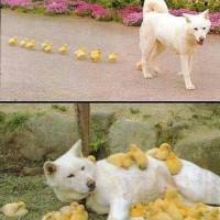 小鸭子把狗当妈妈