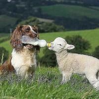 牧羊犬喂养小羊