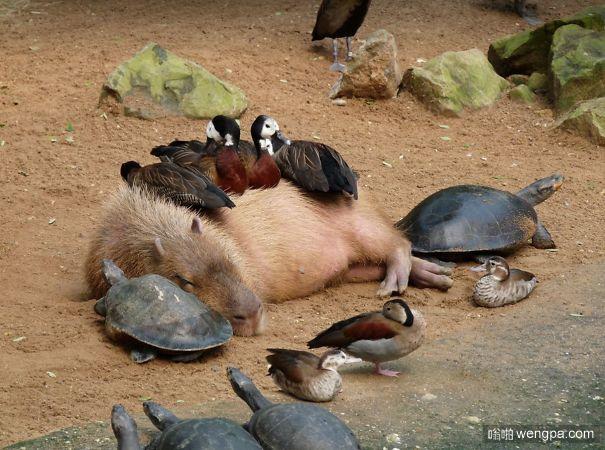 为什么这么多动物喜欢水豚 甚至是鳄鱼!