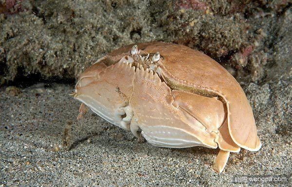 馒头蟹:最害羞的螃蟹 它能整天捂着脸!