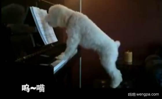 【视频】狗狗音乐家 主人走后偷弹钢琴遭邻居投诉
