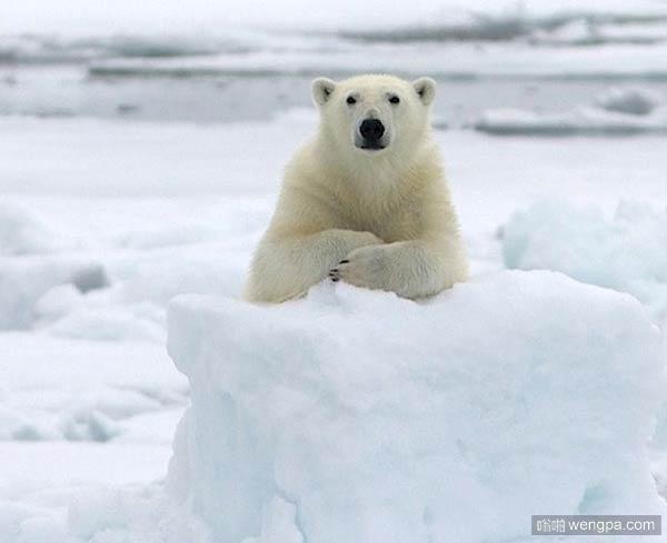北极熊萌宠图片:讲台上的大学教授-嗡啪萌宠图片