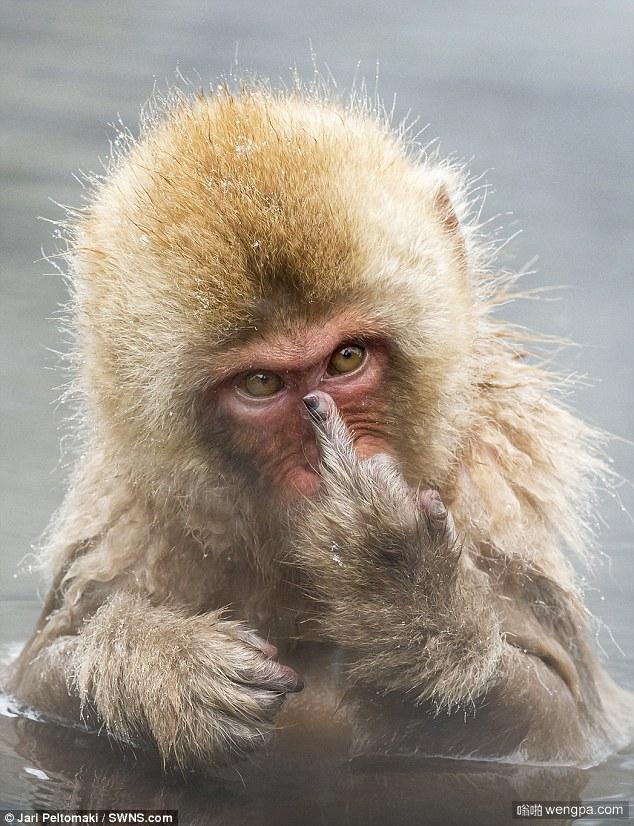 瞎拍拍啥!猴子晨浴时生气对镜头竖中指