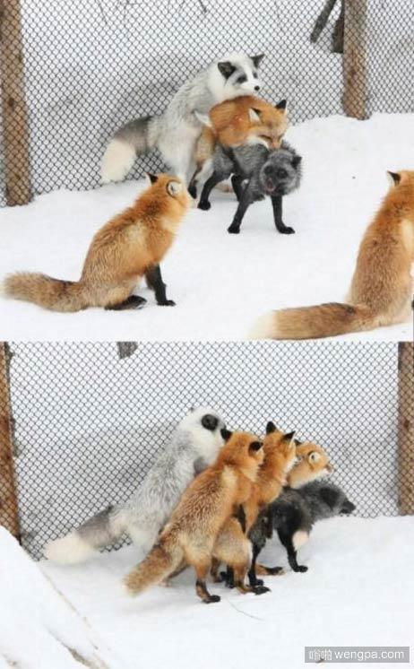 这就是狐狸_狐狸群P图片_狐狸搞笑图片 - 嗡啪搞笑动物图片